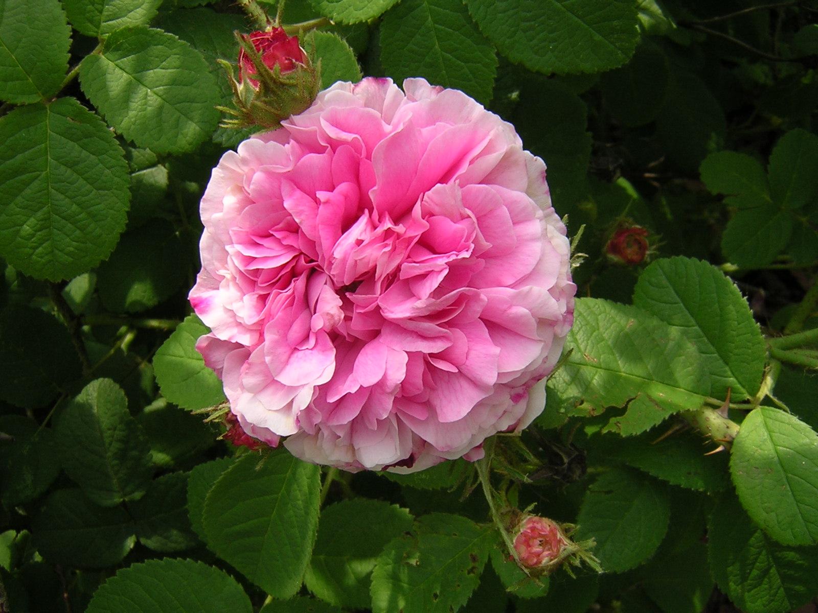 Trigintipetela Rose