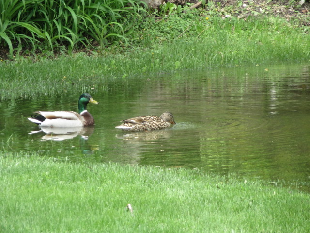 Male and female duck in puddle
